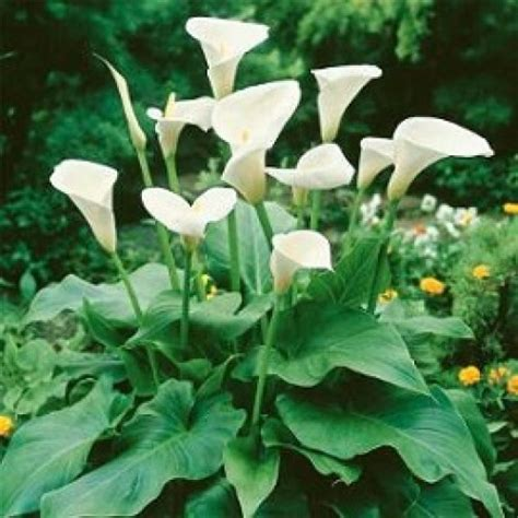 Bibit Bunga Calla jual tanaman hias calla hp 085608566034