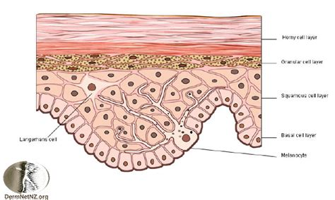 skin cells diagram structure of the epidermis 7 skin structure anatomy