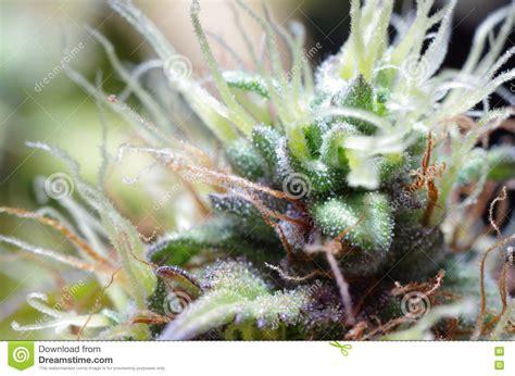 fiore di cannabis fiori della cannabis fotografia stock immagine 77265218