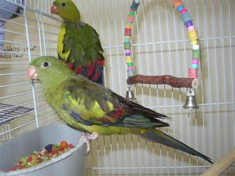 rescued birds ohio 32 best images about rock pebbler parakeet aka regent parrots on birds the birds
