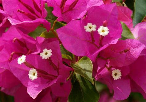 bouganville fiore bougainville bouganvillea come curare e coltivare la