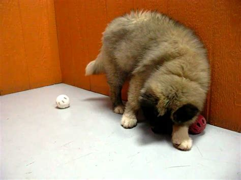 akita husky mix puppies for sale akita husky wolf hybrid mix puppies for sale www 19breeders