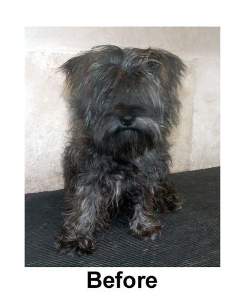 brindle cairn haircut cairn terrier cut styles hairstylegalleries com