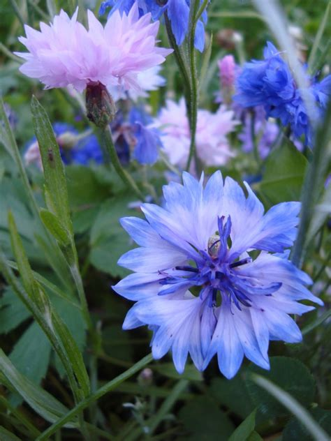 blue cosmos flowers www pixshark images galleries