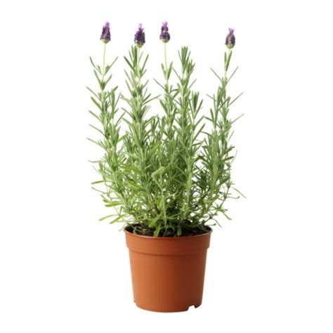 ikea plants lavandula potted plant ikea