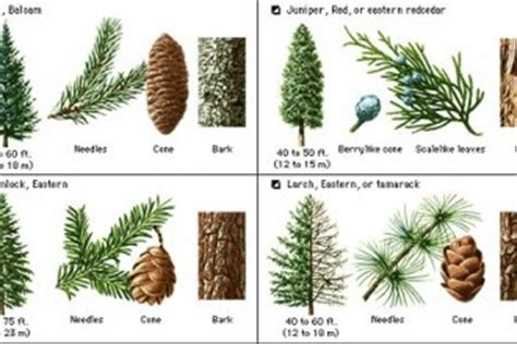 tree species guide pine tree identification guide 4 pine tree