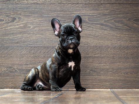 Do Bull Dogs Shed by Bulldog Breed Information Facts And Faq S