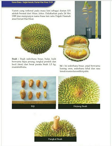 Bibit Durian Musang King Jombang gambar durian seri buah buahan makanan orangutan sedangkan