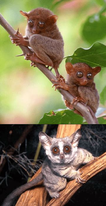 tarsier bush baby squee spree daily squee cute
