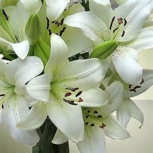 lilium asiatic white 5 bulbs per pack hadeco