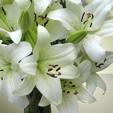 lilium asiatic white 5 bulbs per pack hadeco