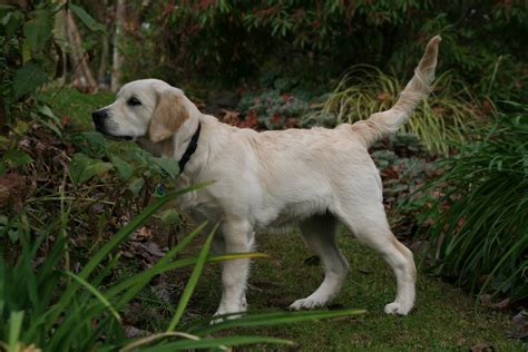 golden retriever island ny golden retriever breeders island new zealand photo