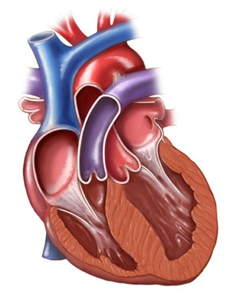 coronal section of heart coronal section of the heart illustration science art com