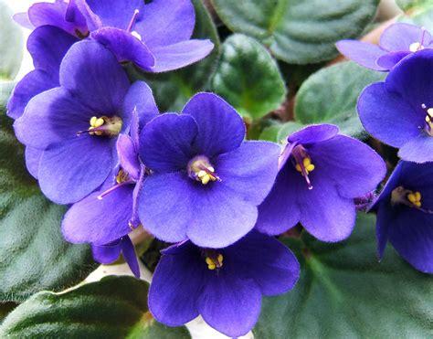 saintpaulia african violet auntie dogma s garden spot