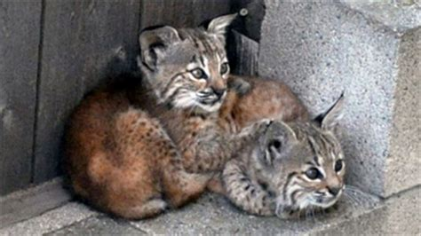 baby bobcats super common  super cute baby animal zoo