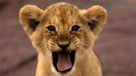 Beautifull Wallpapers Of Lions In Hd Images Of