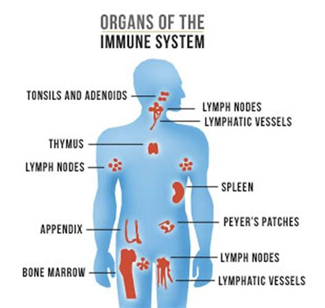 diagram of the immune system researchers find another immune system link science said