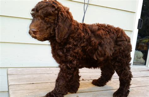 pictures of female labradoodles haircuts black labradoodle haircuts newhairstylesformen2014 com