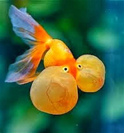 Pakan Ikan Koki Agar Cepat Bertelur cara budidaya ikan koki
