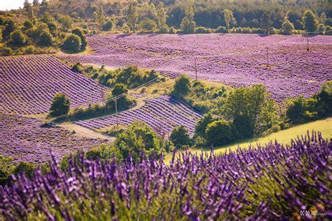 Lavendelfelder Provence by Zur Lavendelbl 252 Te In Die Provence Ronnyfotografiert De
