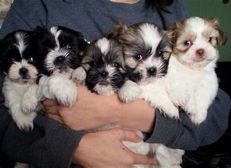what is shih tzu favorite food 17 best images about shih tzu on skin problems food and shih tzus
