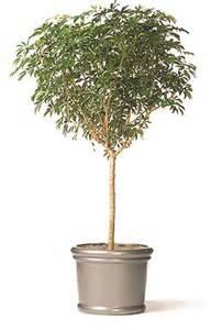 Low Light Indoor Tree tall indoor plants low light 5 tall indoor plants greener on the
