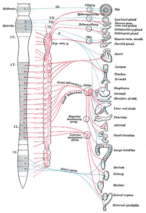 diagram of the vagus nerve file gray839 png wikimedia commons