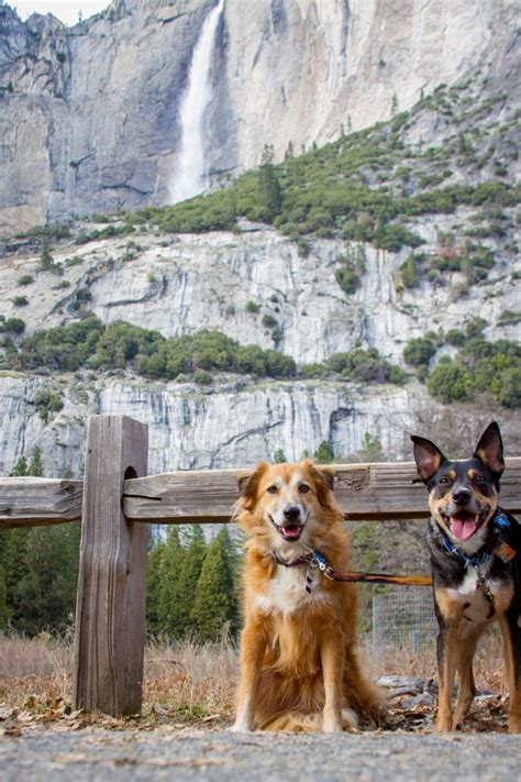 dogs in yosemite happy dogs in yosemite national park dogthusiast for enthusiasts with active dogs