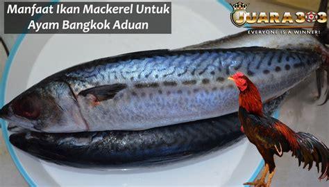 manfaat ikan mackerel  ayam bangkok aduan