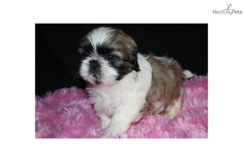 lhasa shih tzu mix for sale az shih tzu lhasa apso designer mix shih tzu puppy for sale near lancaster