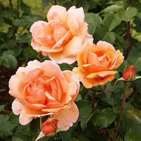 The Most Fragrant Roses For Your Garden Gardens Fragrant Flowers For Garden