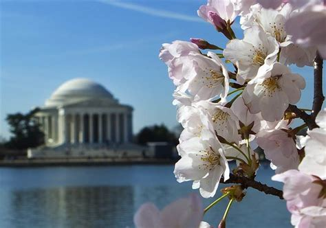 when did japan give us cherry blossoms when did japan give dc cherry blossoms