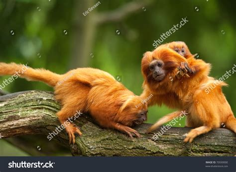 show me a picture of a baby golden retriever golden tamarins baby leontopithecus stock photo 70930000