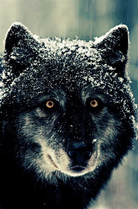 russian wolf russian wolf creatures
