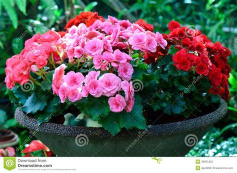begonie in vaso fiore della begonia in vaso da fiori fotografia stock