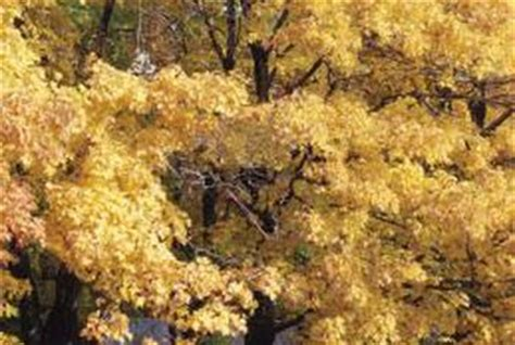 maple tree brown leaves maple tree problems the leaves turn yellow in summer home guides sf gate