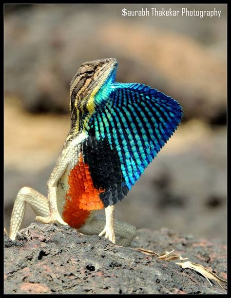 27 best reptiles and hibians images on pinterest 99 best images about fan throated lizards on pinterest