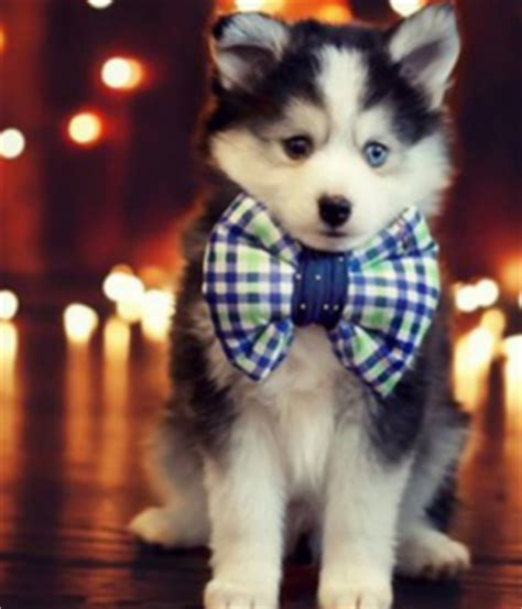 husky and pomeranian mix for sale pomeranian husky mix dogs breeds picture