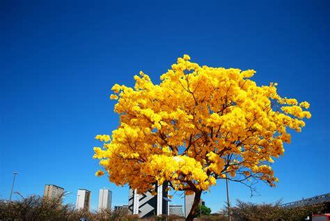 Ipe Detox by Ip 234 S Amarelos Colorem O Distrito Federal Ciclovivo