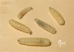 fly larvae in carpet meze