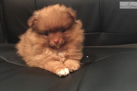 teacup pomeranian for sale in chicago pomeranian puppy for sale near chicago illinois c79ad770 de01