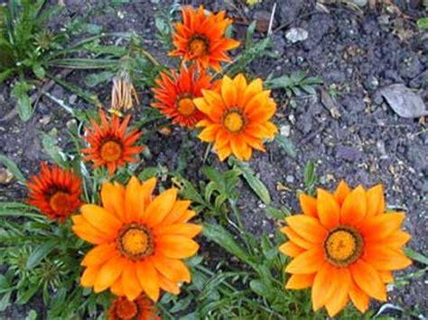 mi remanso de paz flores de goma mi remanso de paz gazania