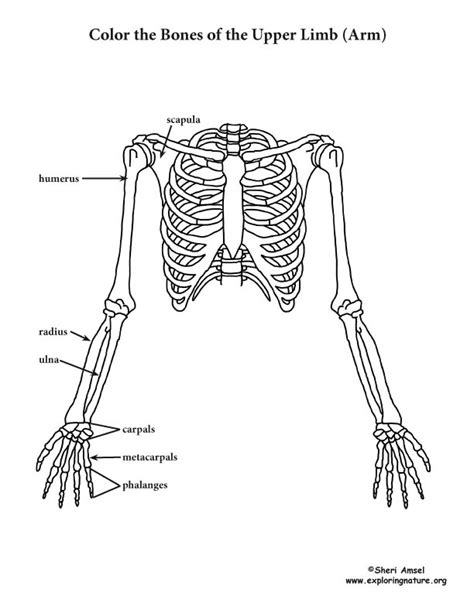 anatomy coloring pages skeleton limb of the skeleton coloring page