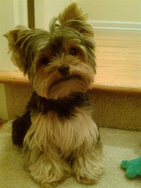 cut yorkie 50 damn yorkie haircuts for your puppy hairstylec