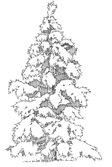coloring page of evergreen tree evergreen tree page coloring pages