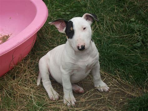 bull terrier puppy bull terrier puppy cheltenham gloucestershire pets4homes