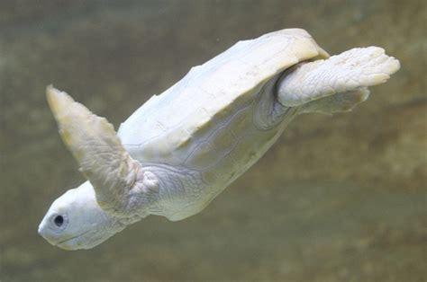 Imagenes De Tortugas Blancas | tortuga blanca todo lo que debes saber sobre ellas