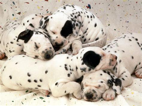 dreaming of puppies sweet dreams dalmatian puppies