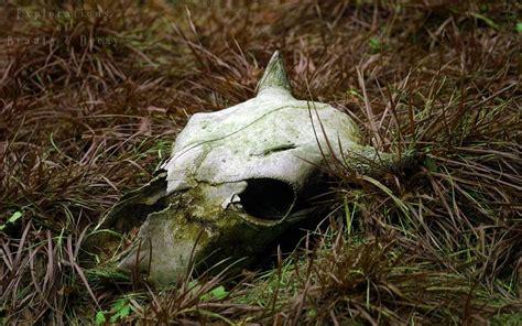 hd nature decay rotting bull skull wallpaper
