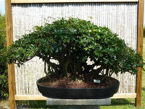 Nursery Fort Myers Fl by Desert Rose Picture Of Wigert S Mango Grove Amp Bonsai